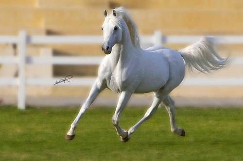 Arabian horse  بيت الجواد العربي