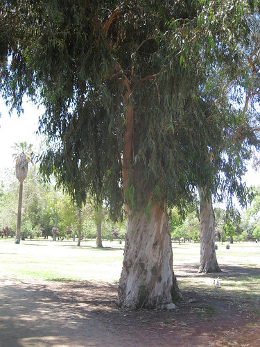 huge eucalyptus trunk