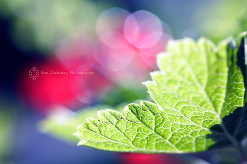 Red Currant leaf and bokeh