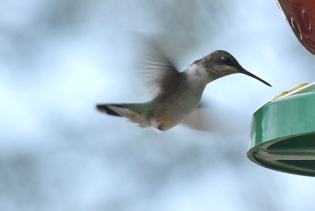 Ruby-throated hummingbird (1) - Copy