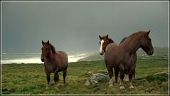 Sea Horses. (glemoigne) Tags: horses horse cheval brittany pentax dunes bretagne breizh bzh tempête finistère chevaldetrait k20d justpentax da55 smcpda55mmf14sdm glemoigne gilbertlemoigne