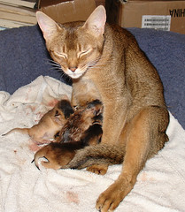 Well thats the litter and I'm tired (kkdemien) Tags: cats birth kittens abyssinian