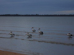 Pelicans at Hervey Bay