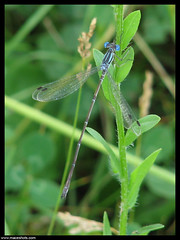 Great Spreadwing (male) - Archilestes grandis (emace) Tags: male bug insect flying damselfly crabtreenaturecenter archilestesgrandis greatspreadwing palatineillinois