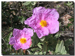 Rock rose / Jara blanca - by . SantiMB .
