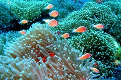 School of Pink Anemonefish, Thailand (_takau99) Tags: ocean trip travel school sea vacation holiday fish uw nature water topv111 topv2222 thailand lumix topv555 topv333 marine asia southeastasia underwater wildlife topv1111 topv999 topv444 dive july scuba diving 123 321 topv222 panasonic explore clownfish anemone thai samui tropical scubadiving topv777 topv3333 tao topv666 topf10 topf15 kohtao anemonefish kotao 2007 topv888 gulfofthailand chumphon damselfish topf5 topf20 fx30 amphiprion 123nature pinkanemonefish explore500  takau99 pomacentridae amphiprionperideraion chumpornpinnacle chumphonpinnacle dmcfx30 lumixfx30 perideraion
