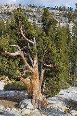 "Different side of the ""Tree That Rocks""  #1.jpg (YOSEMITEDONN) Tags: trees tiogapass olmsteadpoint naturesfinest yosemitenp adoublefave excapture imagesofharmony"