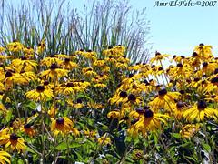 Black-Eyed Susan (PhotoBlizzard) Tags: flowers colors blackeyedsusan