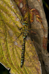 "Common Hawker Dragonfly (Aeshna junce(8) • <a style=""font-size:0.8em;"" href=""http://www.flickr.com/photos/57024565@N00/1214876633/"" target=""_blank"">View on Flickr</a>"