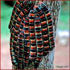 Enorme rupsen op een boomstam! (Margot) Tags: tree colors yucatan caterpillars allergic rupsen ekbalam margotpouw colorphotoaward impressedbeauty specinsect mexico2007 superbmasterpiece 1on1macrosphotooftheweek margot 1on1macrosphotooftheweekseptember2007