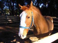 Argentina: Imagen del Campo bajo el Sol de la Tarde (Ing Camb) Tags: portrait horse southamerica argentina animal caballo retrato farm country icon pasto campo provincia marron pampa pampas 100club noble argentinian gaucho tierra potrillo 50club
