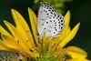Kyoto Butterflies (Greg Miles) Tags: naturesfinest supershot top20butterflies naturewatcher