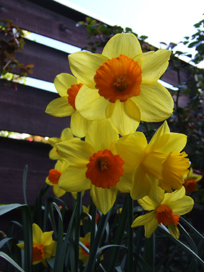 I love daffodils