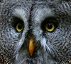 Great Grey Owl - Bartkauz (pe_ha45) Tags: bravo greatgreyowl owl owls strixnebulosa eule naturesfinest eulen bartkauz supershot magicdonkey stixnebulosa specanimal animalkingdomelite aplusphoto avianexcellence diamondclassphotographer superhearts natureoutpost greifvogelgehegebispingen nginationalgeographicbyiatalianpeople alloccodilapponia carabolapón aboveandbeyondlevel1 corujalaponica aboveandbeyondlevel2 aboveandbeyondlevel3