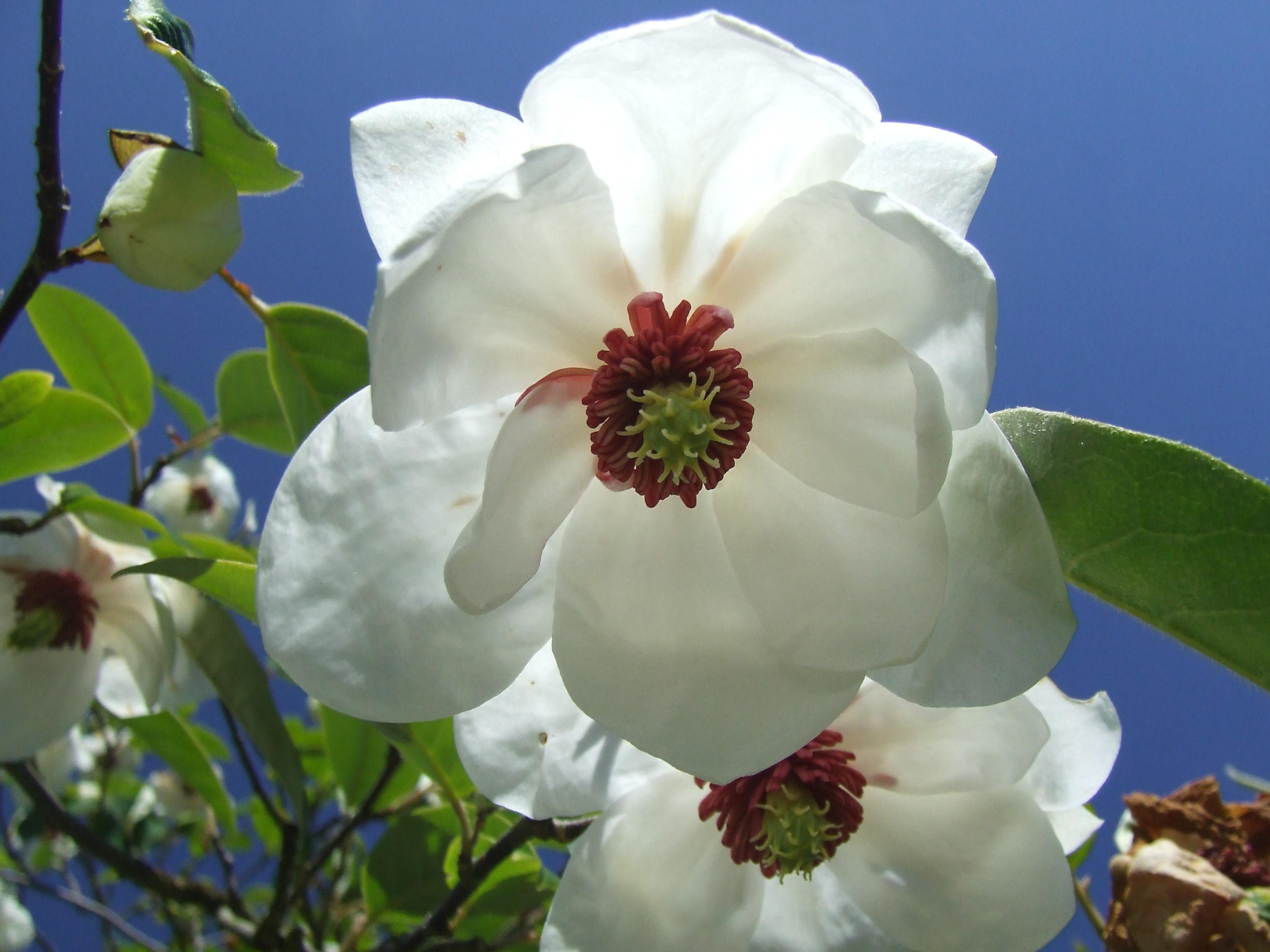 Magnolia Wilsonii , Dundee botanic gardens
