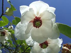 Magnolia Wilsonii , Dundee botanic gardens (Shandchem) Tags: gardens calendar dundee magnolia botanic 2010 wilsonii