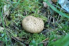Kartoffelbovist (Quasebart ...thank you for 4 Million Views) Tags: nature mushroom forest natur fungi pilze wald pilz kartoffelbovist