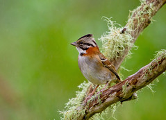 Tico-tico (Rufous-collared Sparrow) (Bertrando) Tags: nature birds wildlife natureza aves pssaros ticotico rufouscollaredsparrow zonotrichiacapensis