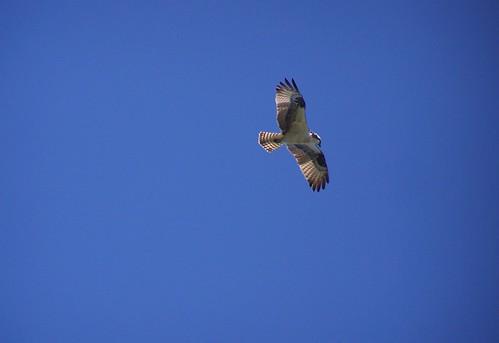 may 019 Peregrine falcon!