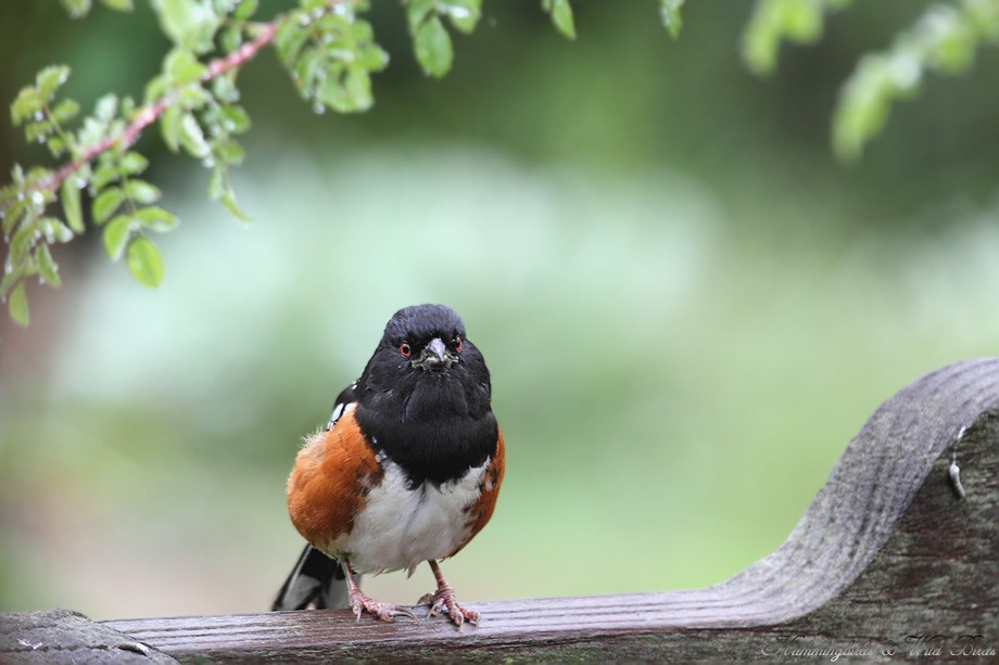 Spotted Towhee 10101