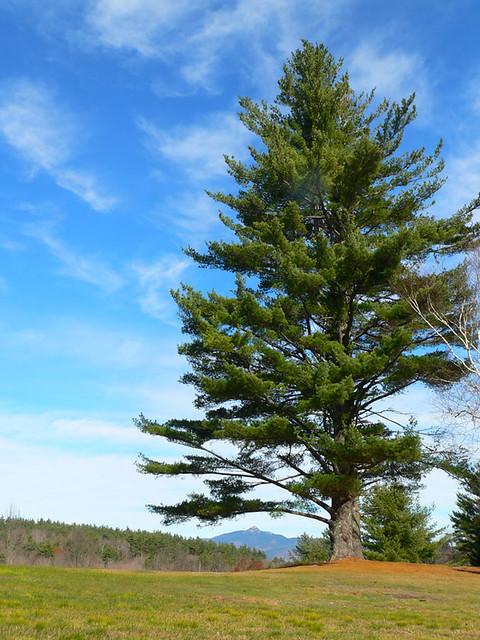 big_pine