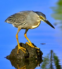 Little Heron (Butorides striatus) (Grandpa@50) Tags: bigmomma butoridesstriatus butoridesstriata littleheron challengeyouwinner thechallengefactory larawangpinoy herowinner ultraherowinner