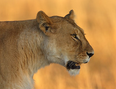 Kicheche Lioness (Lyndon Firman) Tags: africa canon kenya lion safari mara coolest lioness eos1d masaimara photooftheday kicheche impressedbeauty ysplix 22june2007