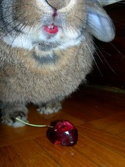 CHERRY KILLER... CALL ME MEAN, CALL ME EVIL... (unaerica) Tags: red italy food pet cute rabbit bunny nature fruit mouth fur cherry eyes nikon funny italia sweet eating teeth adorable lips moustache killer bite animali bocca coniglio coniglietto ciliegia denti morso labbra baffi lopears pipola
