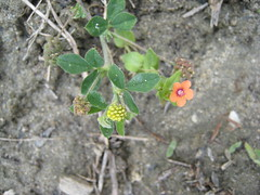 Scarlet pimpernel and yellow clover