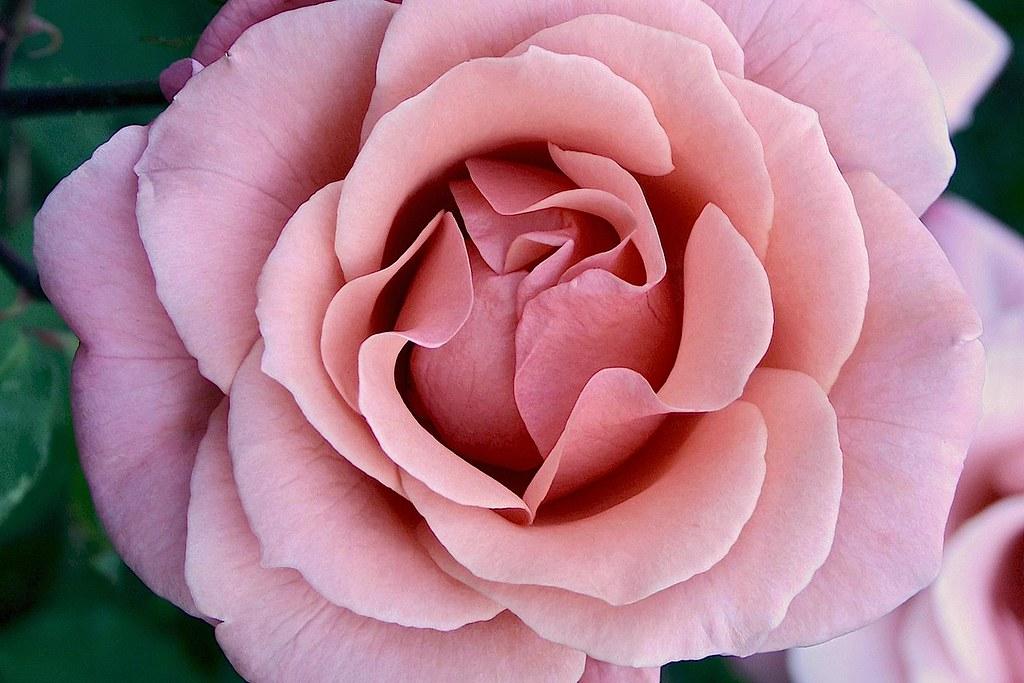 rose ©2007 RosebudPenfold