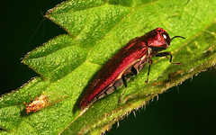 """Hawthorn Jewel Beetle (Agrilus sinuatus) and friend ) • <a style=""""font-size:0.8em;"""" href=""""http://www.flickr.com/photos/57024565@N00/704183901/"""" target=""""_blank"""">View on Flickr</a>"""