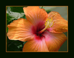 hibiscus (stokrotka49) Tags: orange flower colorful searchthebest dynamic bright champagne conservatory hibiscus statenisland soe brilliant snugharbor evocative scintillating abigfave colorphotoaward aplusphoto goldenphotographer diamondclassphotographer flickrdiamond searchandreward excellentphotographerawards