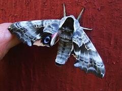lingerie (glantine) Tags: beauty wonder moth explore sphinxmoth algonquinpark papillondenuit mfleurangelamothe i500 parcalgonquin interestingness187july292007 smerinthusjamaicensis twinspottedsphinx