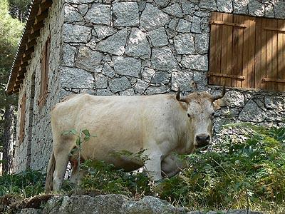 vache à Bavella.jpg