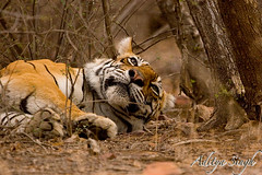 Sleeping tiger (dickysingh) Tags: wild india nature outdoor wildlife tiger bigcat aditya ranthambore singh bengaltiger ranthambhore dicky wildtiger ranthambhorebagh adityasingh dickysingh ranthamborebagh theranthambhorebagh