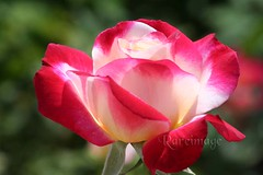 Love (Rareimage Photography) Tags: california fab usa flower nature rose canon bravo perfect superb poe excellence aclass naturesfinest blueribbonwinner supershot masterphotos abigfave anawesomeshot impressedbeauty superbmasterpiece ishflickr excellentphotographerawards flickrelite rareimagephotography