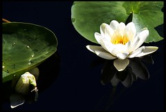 Water Lilly (Stavelin) Tags: blue white flower green water norway canon eos lilly roar risr waterlilly 30d stavelin bildekritikk