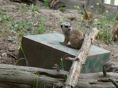 Cute Meerkat (Geodog) Tags: zoo jacob oaklandzoo requists