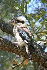 Did ya get my good side? (aussiegall) Tags: tree bird feather laugh banksia kookaburra aphotoaday australiannativebird project365