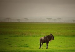 on my own (northmanimages) Tags: africa tanzania landscapes wilderbeest wildlife sunsets serengeti mammals acacia
