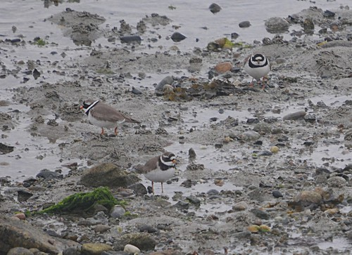 ringed plover2