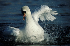 wild swan flapping wings in water (VeraVision) Tags: wild white lake water beautiful animals swimming wings floating swans elegant flapping clearing cygnusolor spalshing
