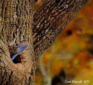 An Autumn Bluebird
