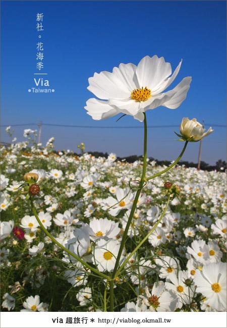 【2010新社花海】via帶大家欣賞全台最美的花海!23