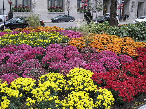 Mums at Daley Plaza