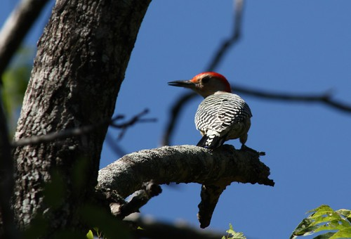 Red-bellied Woodpecker - 10/29/2010