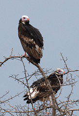 White Headed Vultures, Nxai Pan, Botswana