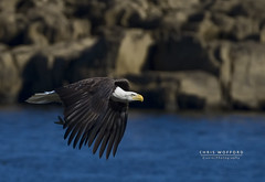 Bald Eagle (Chris Wofford) Tags: blue chris wild brown white fish bird art nature water beautiful beauty nova birds america canon river fly us flying interestingness fantastic wings fishing md eyes rocks afternoon dof natural eagle bokeh dam wildlife tail flight baldeagle feathers bald maryland national american raptor 7d fisher catch prey fowl usm 500mm majestic eagles ef f4 mothernature magnificent geographic birdsofprey whitetail naturally 2010 watcher feathery birdwatcher naturesfinest conowingo wofford conowingodam closetonature specanimal avianexcellence goldwildlife bokehs mothernaturesgreenearth chriswofford