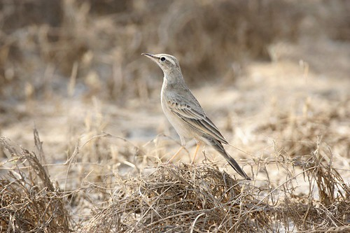 Long-billed Pipit (Anthus similis)