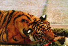 documenta 12 | Peter Friedl / Tiger oder Löwe | 2000 | Fridericianum ground floor